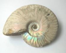 zkamenělý amonit